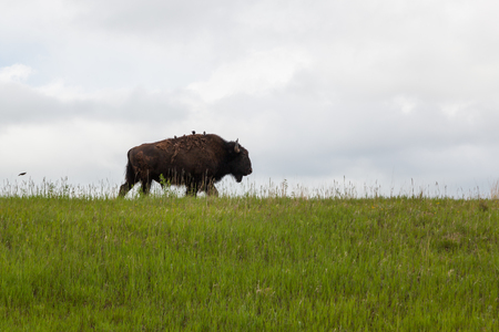 A bison walking on a grassy hilltop with four birds sitting on its back with one more flying behind and dark storm clouds in the background. Stock Photo