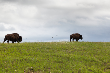 Two bison walking on a grassy hilltop ridge with birds flying next to them with dark storm clouds in the background. Stock Photo