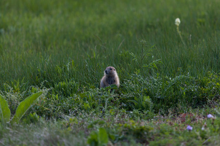 A cute little prairie dog sitting in the tall green grass and weeds in a field in spring time.