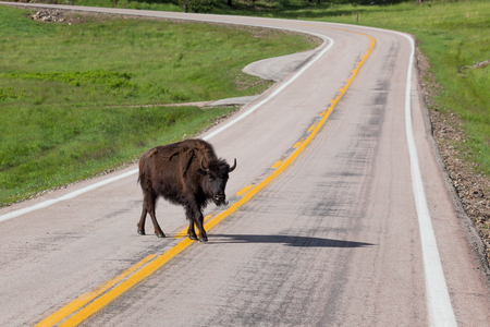 A yearling bison walking across a two lane road in Wind Cave National Park with its tongue sticking out.