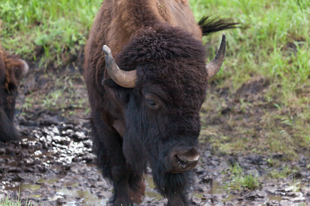 Close up of the face of a large male bison with dark fur on its face and a slightly distorted right horn.