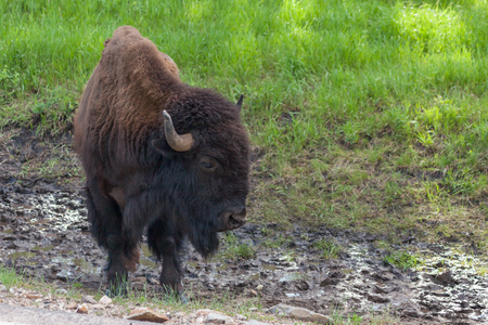 A large male bison standing in a muddy trench next to a road with green spring grass in the background.