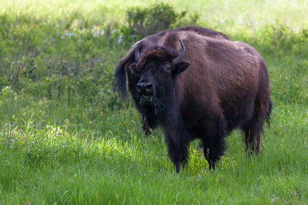 A North American Bison standing in the shade and eating the green prairie grass in the shade.