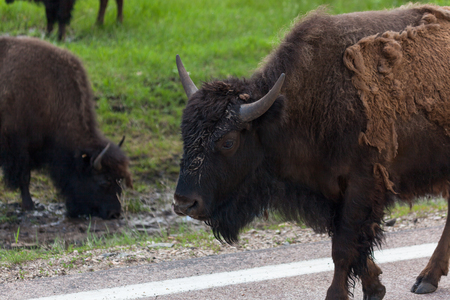 A young bison with a dirty face and shedding fur is walking down the side of a road while other bison graze in the background. Stockfoto