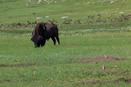 A large male bison is grazing in the green spring grass of a prairie with small prairie dogs looking around. Stock Photo