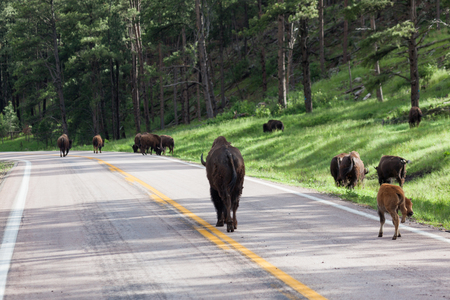 A herd of bison walking down a two lane road with afternoon sunshine through the trees. Stockfoto