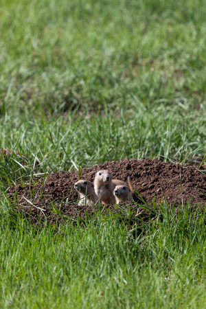 Three prairie dogs looking out of the entrance of their underground home into the green field and sunshine. 免版税图像