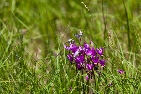 A group of springtime purple shooting star wildflowers growing in tall grass with a blurred background.