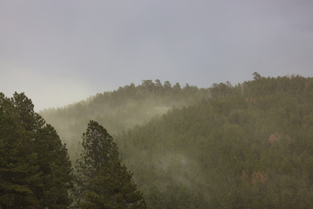 A pine tree forest releasing large amounts of pollen in the strong winds of a spring storm in Custer State Park, South Dakota.