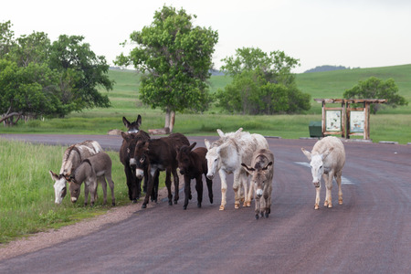 A family of wild donkeys walk together on a roadside area of Custer State Park in South Dakota where they are a tourist attraction.