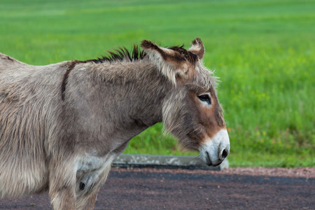A pregnant donkey resting while standing on a paved parking area in Custer State Park, South Dakota with a bright green prairie in the background. Stock Photo