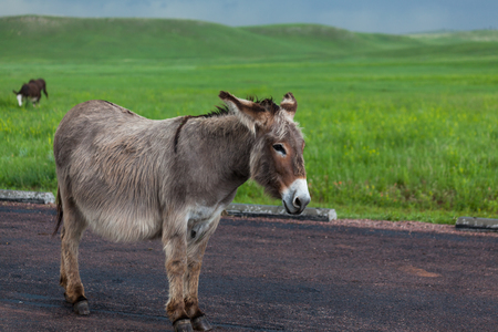 A pregnant donkey resting while standing on a paved parking area in Custer State Park, South Dakota with a bright green prairie and dark storm in the background.
