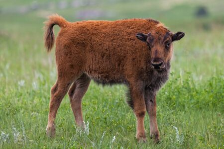 A cute baby bison or buffalo curiously looks at visitors in Custer State Park, South Dakota.