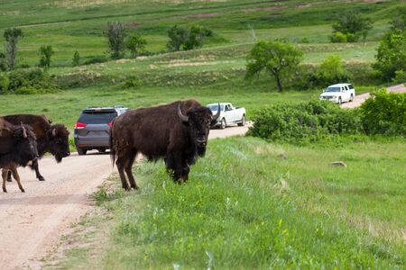 A group of bison crossing a dirt road and creating a road block for the tourists in cars that are driving through Custer State Park, South Dakota.