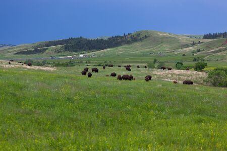 A large group of bison walking and grazing in the prairie grass and wildflowers of Custer State Park with park facilities and a dark stormy sky in the distance. Фото со стока