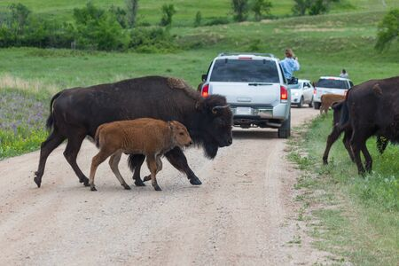 A mother bison crossing a dirt road with her baby by her side as tourists take pictures in Custer State Park, South Dakota.