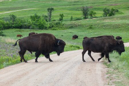 A male bison using his tongue to lick his nose as he follows a female bison across a dirt road that goes through the prairie of Custer State Park in South Dakota.
