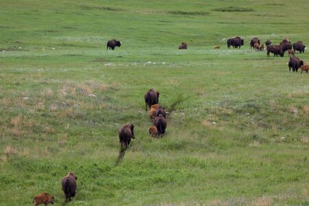 A herd of bison families walk on a well worn path across the green prairie grass in Custer State Park, South Dakota. 版權商用圖片