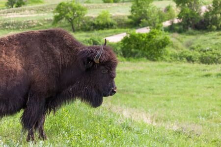 A large female bison stands in spring wildflowers and afternoon sunshine at Custer State Park, South Dakota.