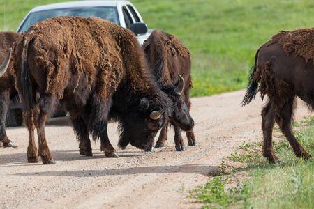Due grandi tori bisonti bloccano le corna nel mezzo di una strada sterrata e fermano il traffico in una dimostrazione di forza e abilità al Custer State Park, South Dakota. Archivio Fotografico