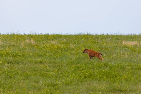 A baby bison by itself on a hillside stretches out its hind legs while standing in the green grass and wildflowers of Custer State Park, South Dakota. Archivio Fotografico - 125489991