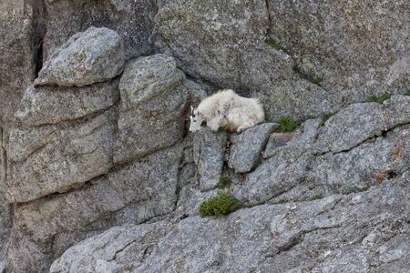 A white mountain goat laying on a narrow shelf of rock on a cliff face at Black Elk Peak, formerly called Harney Peak, in Custer State Park, South Dakota.