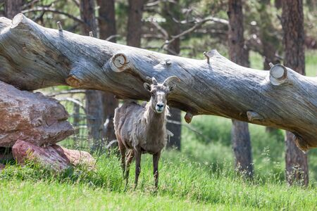 A bighorn sheep in spring shedding its winter coat while standing under a large leaning log. Фото со стока