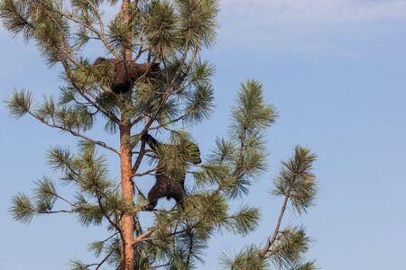 Deux bébés ours qui ont grimpé sur un pin maigre pour jouer au soleil avec un fond de ciel bleu. Banque d'images
