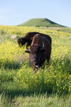 A young bison looks up from grazing in the tall yellow wildflowers with afternoon sunshine in Custer State Park, South Dakota.