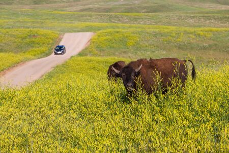 Bison grazing on a hill on bright yellow wildflowers with a vehicle on a dirt road in the distance at Custer State Park, South Dakota.