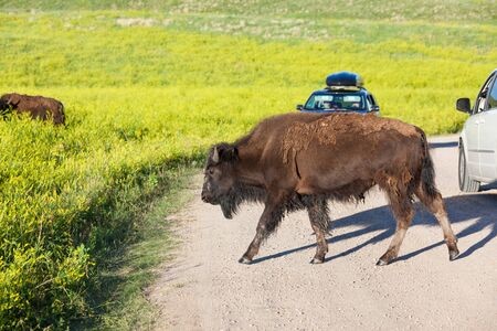 A young bison walking across a dirt road with vehicles of tourist stopping to watch in Custer State Park, South Dakota.