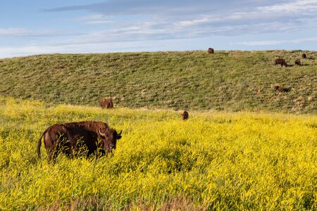 The  prairie landscape of Custer State Park covered in bright yellow wildflowers and dotted with grazing bison and distant storm clouds. Фото со стока