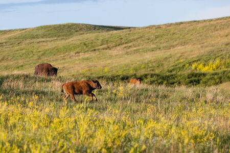A baby bison runs and plays in the tall prairie grass and wildflowers of Custer State Park, South Dakota.