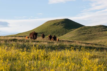 A herd of bison walking over a hilltop in a line in the late afternoon sunshine with bright yellow wildflowers at Custer State Park, South Dakota.