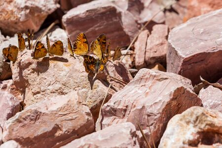 A group or flutter of butterflies resting on a pink rock in the sunshine.