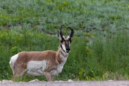 A male pronghorn antelope stands down an embankment of a road in Custer State Park with a smile on his face. Фото со стока