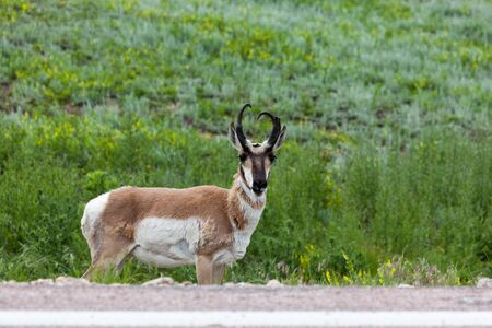 A male pronghorn antelope stands down an embankment of a road in Custer State Park with a half smile and horns that almost form a heart shape.