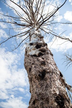 Looking up at a large tree that has been killed by a past wildfire at Yellowstone National Park, Wyoming.