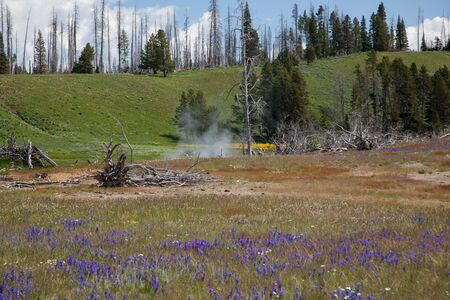 Steam rising from Beach Springs with purple and yellow wildflowers and several dead trees from past wildfires up a green hill at Yellowstone National Park, Wyoming.