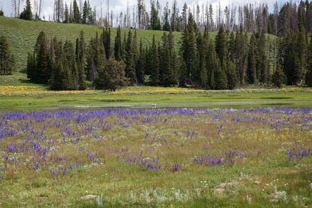 A small pond at beach springs surrounded by purple and yellow wildflowers with two pelicans and some ducks enjoying the sunshine at Yellowstone National Park, Wyoming.