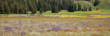 Purple and yellow wildflowers growing i a field by a pond with distant trees and hills at Yellowstone National Park, Wyoming. Stok Fotoğraf