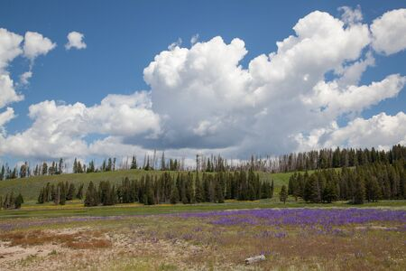 Purple and yellow wildflowers growing i a field by a pond with distant fire damaged trees and hills at Yellowstone National Park, Wyoming. Stok Fotoğraf