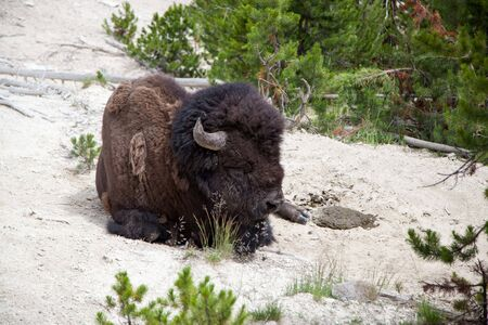 A large bison bull laying on the dirt ground and sleeping in the sunshine at Yellowstone National Park, Wyoming.