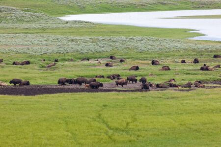 A large herd of bison resting in the lush green grasslands of Hayden Valley which is a receding lakebed in Yellowstone National Park.
