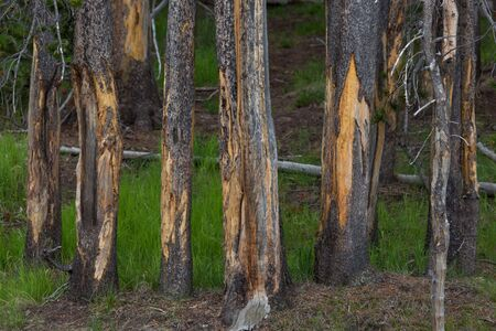 A group of young pine trees with damaged bark from bison rubbing their horns and face against them in Yellowstone National Park, Wyoming.