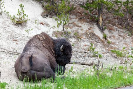 A large bison bull resting on the barren ground in Yellowstone National Park, Wyoming.