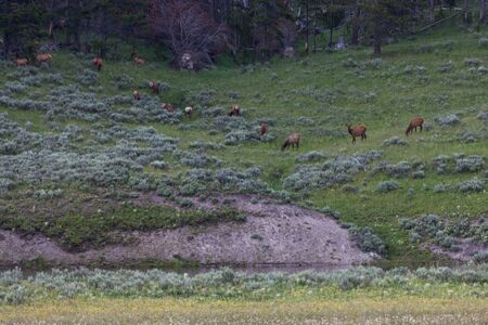 A herd of elk grazing on a grassy hillside above a river in Yellowstone National Park, Wyoming.