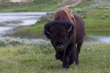 A large male bison walking and keeping a watch on people while close to a road near Hayden Valley in Yellowstone National Park, Wyoming.