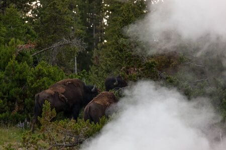 Three bison standing in the woods behind the think steam of Dragons Mouth Spring in Yellowstone National Park, Wyoming.