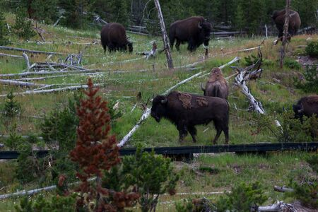 A herd of grazing bison next to a boardwalk that goes through a forest area with dead trees and grass at Yellowstone National Park, Wyoming.